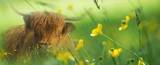 highlander-niityllä